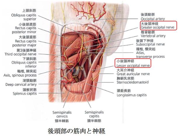 後頭部の筋肉と神経