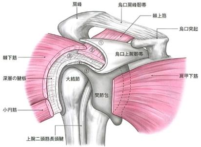 肩関節周囲の組織