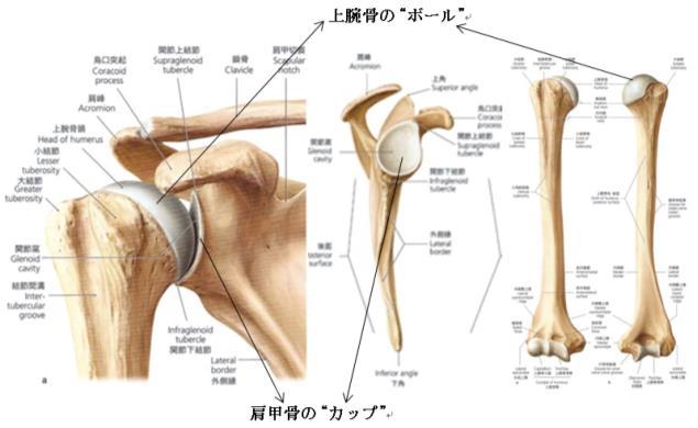 肩甲骨と上腕骨
