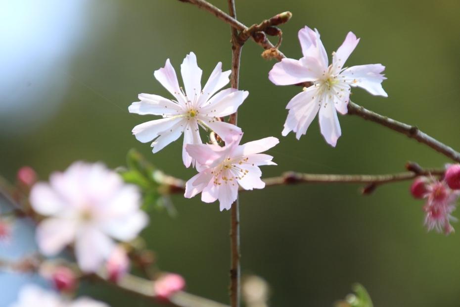 狂い咲きの10月桜(東慶寺)