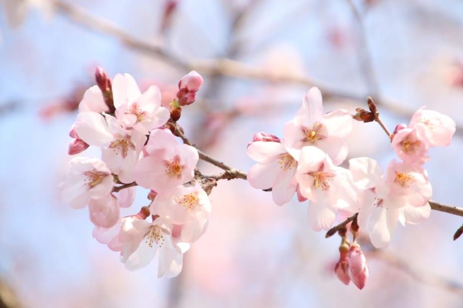 山桜(東慶寺)