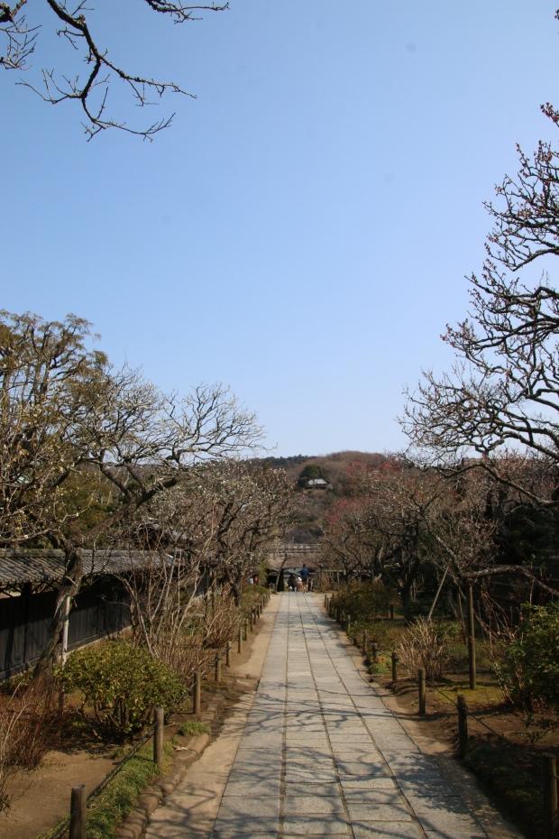 東慶寺 みごとな枝ぶり