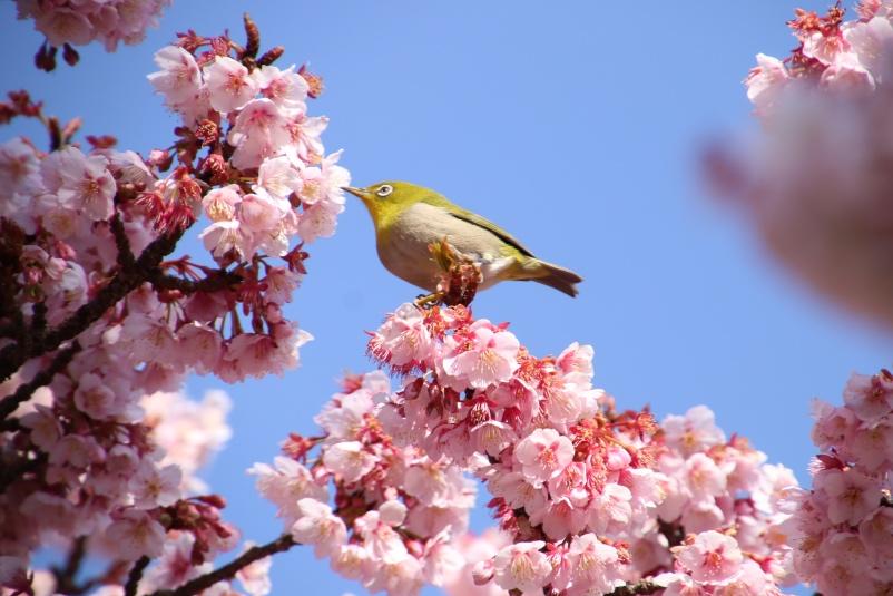 桜にもメジロさん