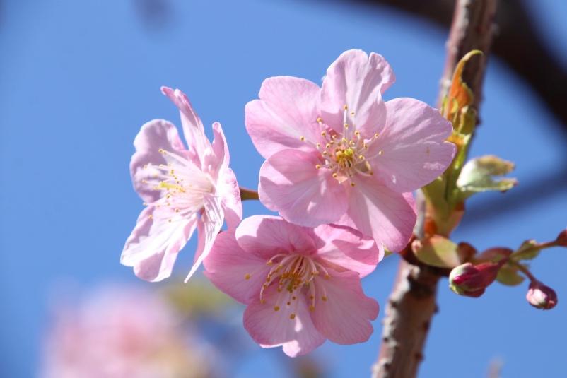 桜も咲いていました