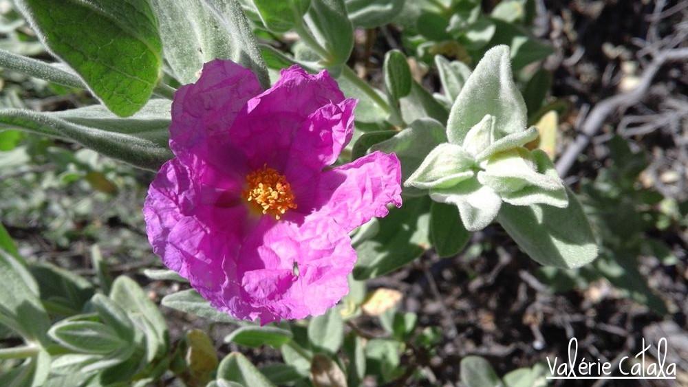 Ciste - Cistus purpureus