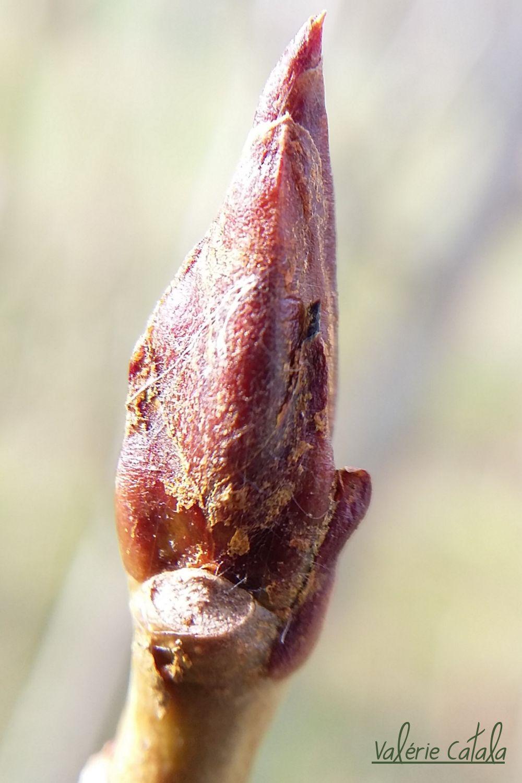 Peuplier - Populus nigra