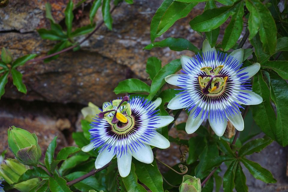 Passiflore ou Fleur de la passion - Passiflora incarnata - Passifloraceae