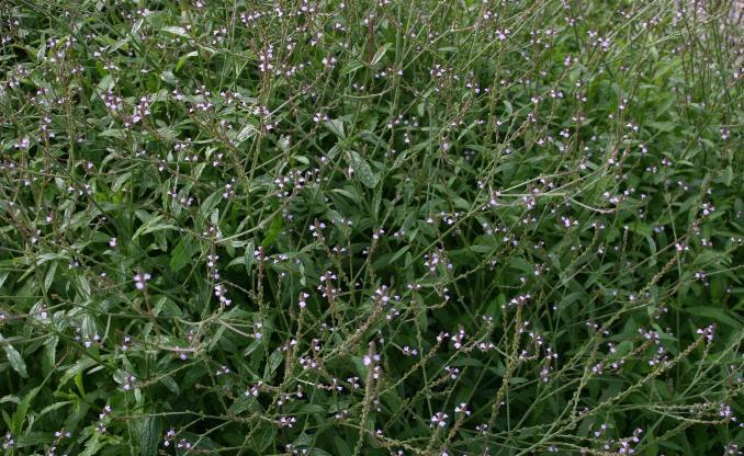Verveine officinale - Verbena officinalis - Verbenaceae