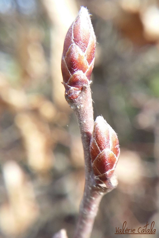 Charme - Carpinus betulus