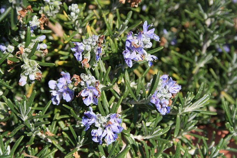 Romarin - Rosmarinus officinalis - Lamiaceae