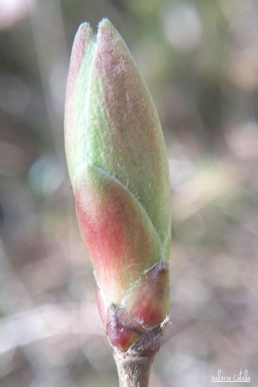 Erable champêtre - Acer campestris