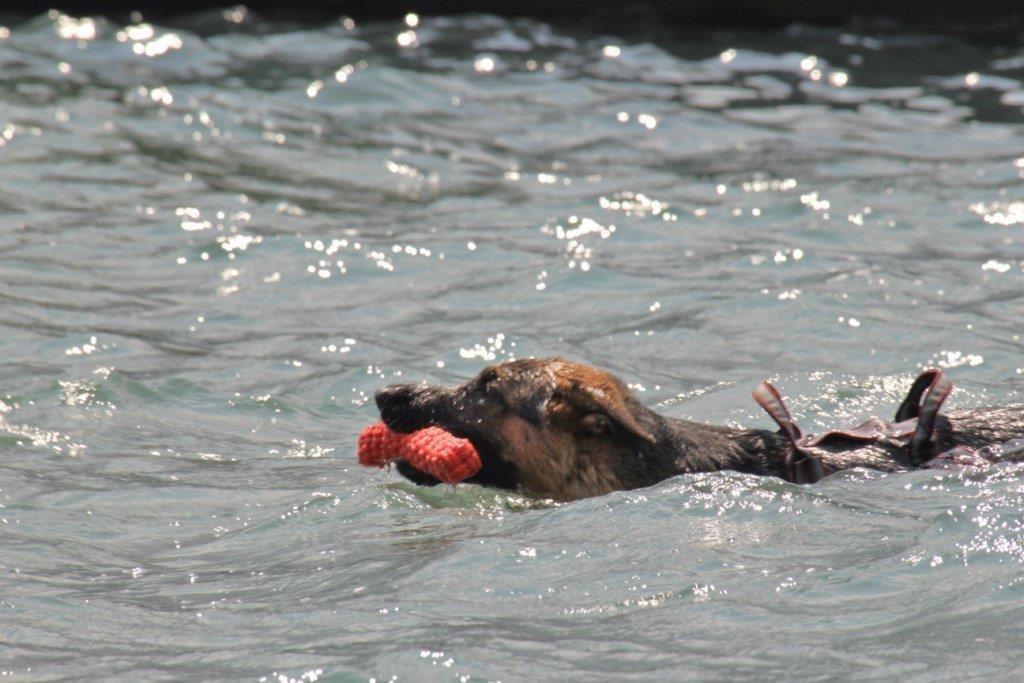 Bailey seine ersten Versuche als Wasserrettungshund