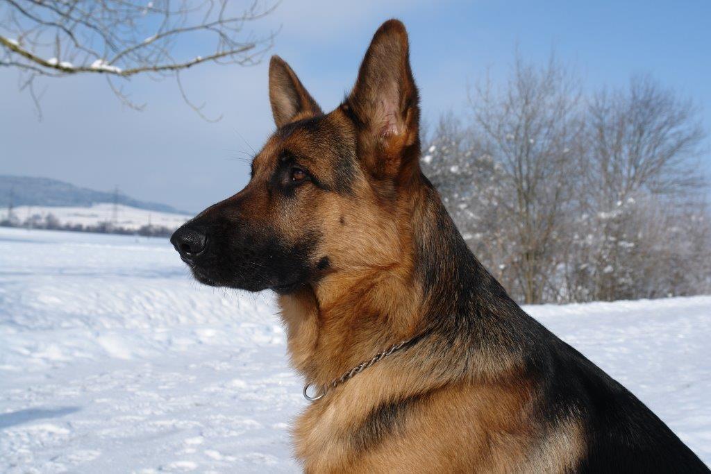 Hübes Porträt von Zeus in der Winterlandschaft