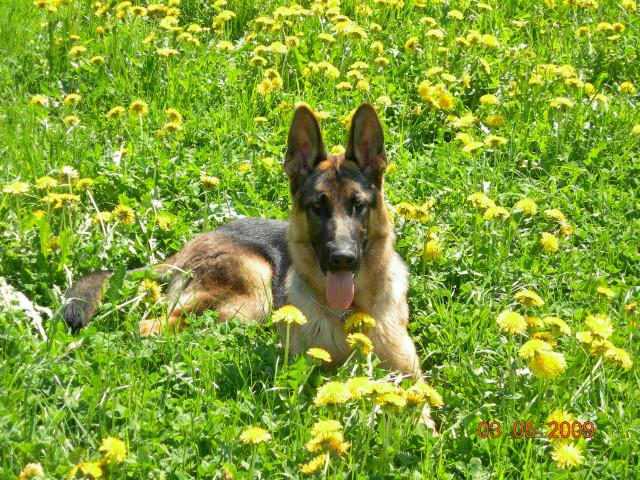 Shura geniesst die Sonne im Löwenzahnfeld