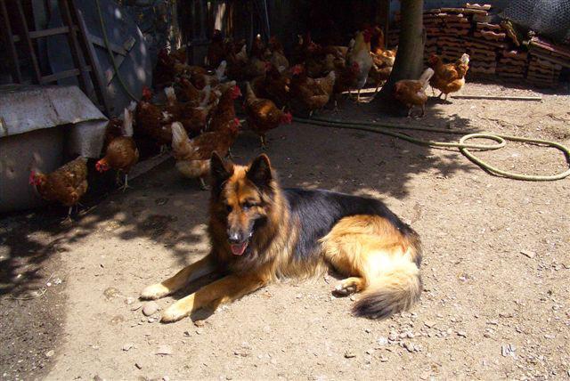 Kawas bewacht seine Hühner