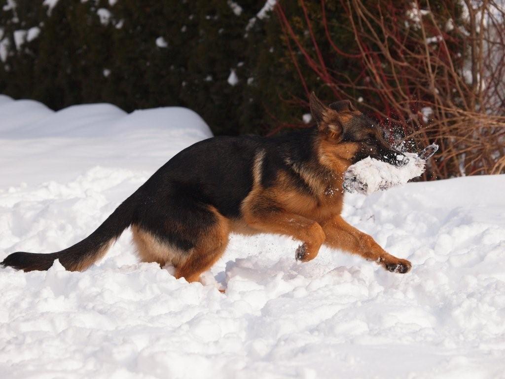 Ist das herrlich im Schnee rumzutollen. Vlek
