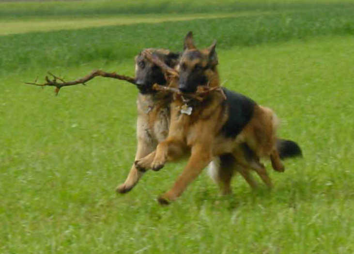 Dinka vom Steigbächli spielt mit seiner Kumpanin