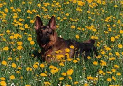 Dinka vom Steigbächli im Blumenfeld