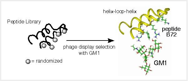 図3 ヘリックスを主鎖構造に持つペプチドB72とGM1との相互作用の予想モデル。