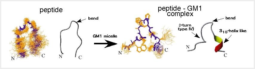 図2 GM1結合性ペプチドp3のコンホメーション。GM1との相互作用により、構造変化を起こす。