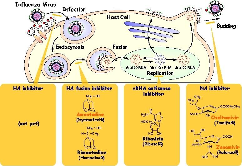 図1 ウイルスの生活環と日本で認可されている抗ウイルス剤とその作用部位。