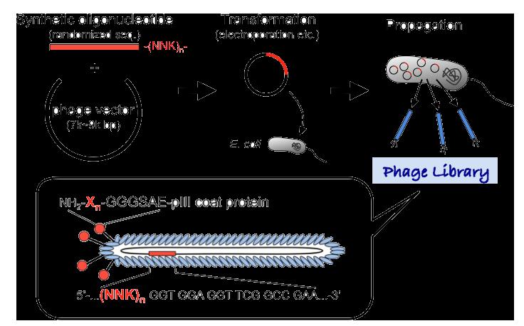 図2 ファージライブラリーの調製法。化学合成したランダムDNAをファージゲノム(ファージベクター)に挿入し、宿主大腸菌に遺伝子導入する。M13系ファージは宿主を破壊せず宿主は増え続ける一方、ファージ粒子は菌外に分泌される。分泌されたファージ粒子は内部に外来のDNA(-(NNK)n-; N=A, C, G, or T; K=G or T)を保持しつつ、ランダム化した部分のアミノ酸残基(-Xn-, X=any amino acid)を粒子表層に提示する。