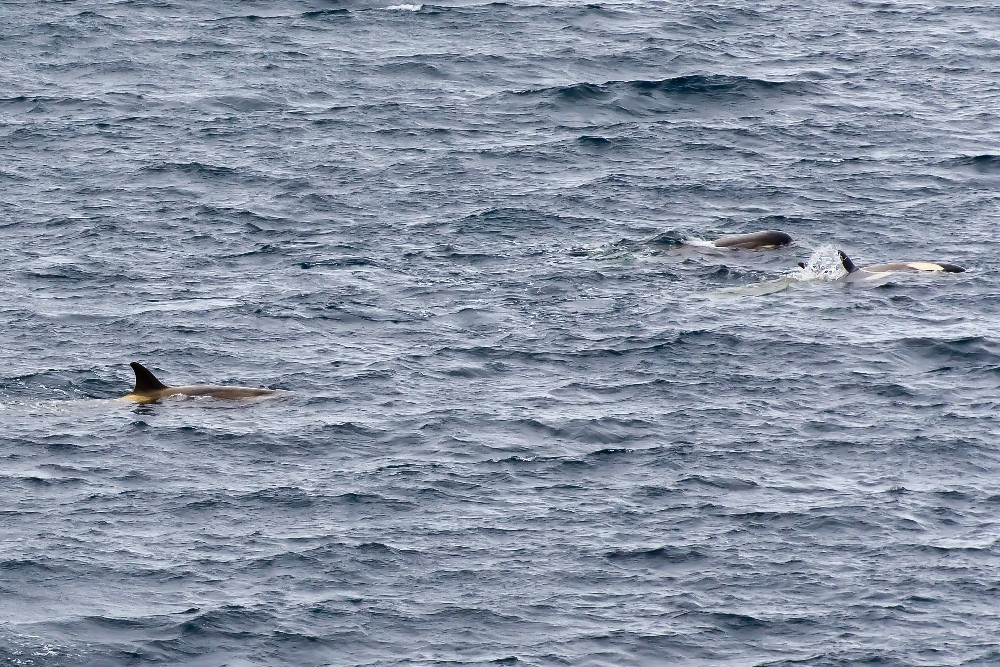 Antarktis / Wale / Orkas