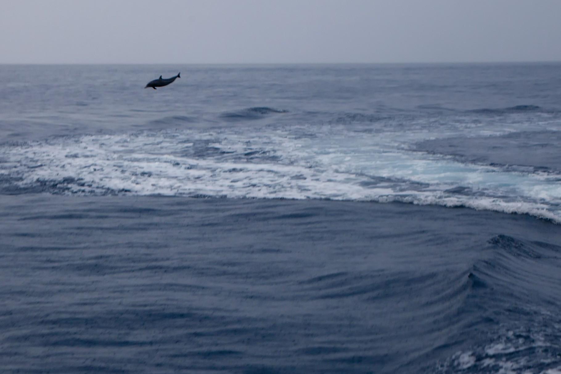 Delfine vor Dominica