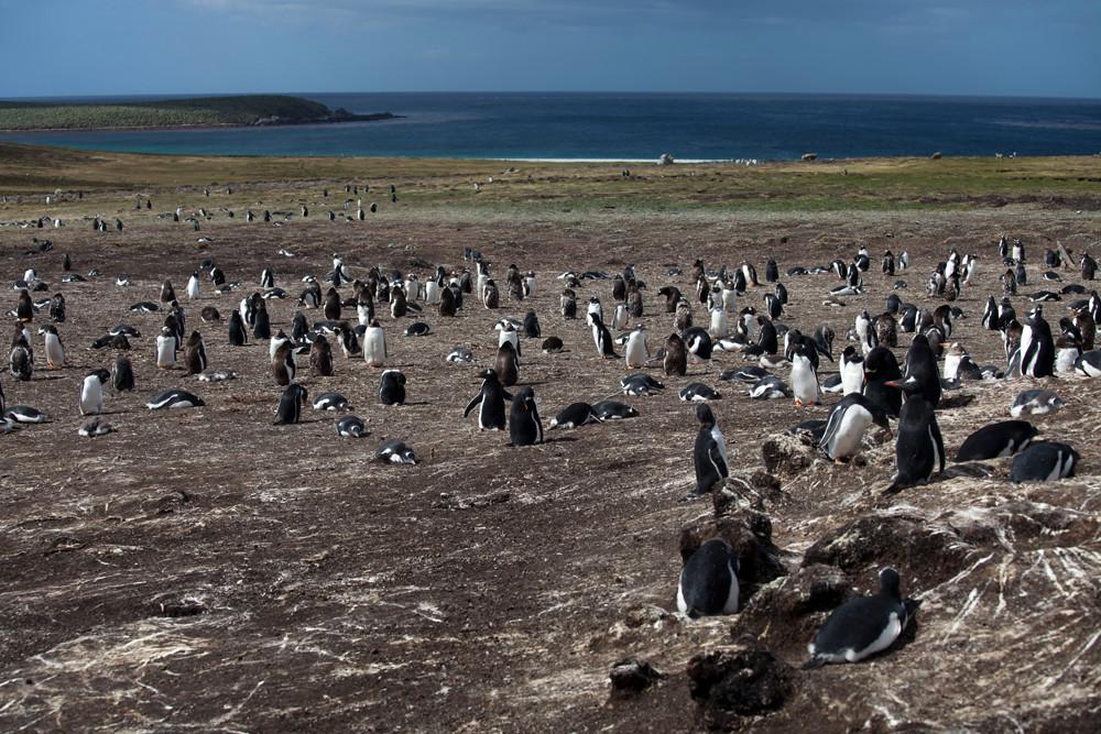 Falklandinseln / Pinguine