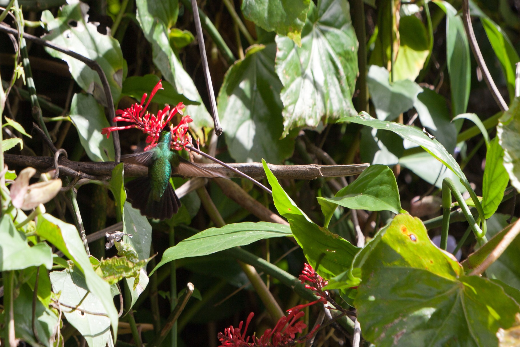 Kolibri Martinique