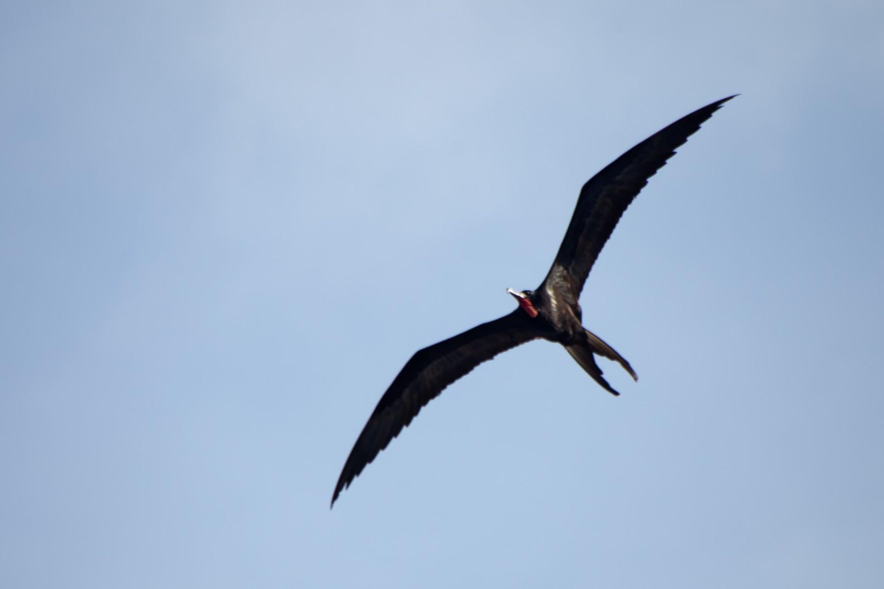 Fregattenvogel Bonaire