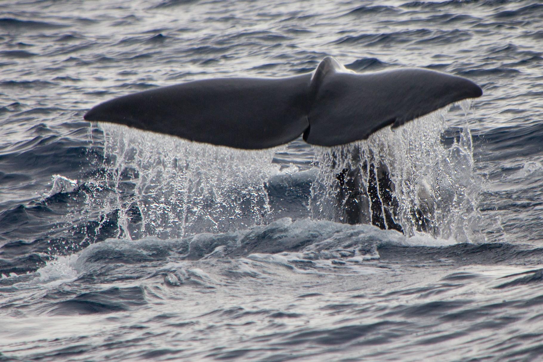 Buckelwale vor Dominica