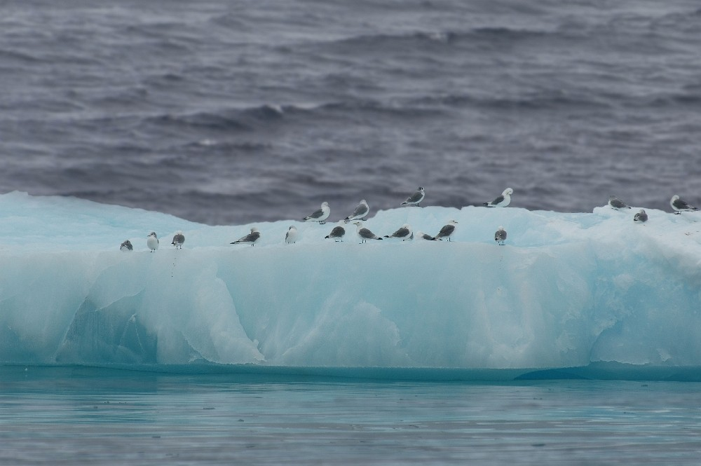Antarktis  / Eisschlolle / Möwen