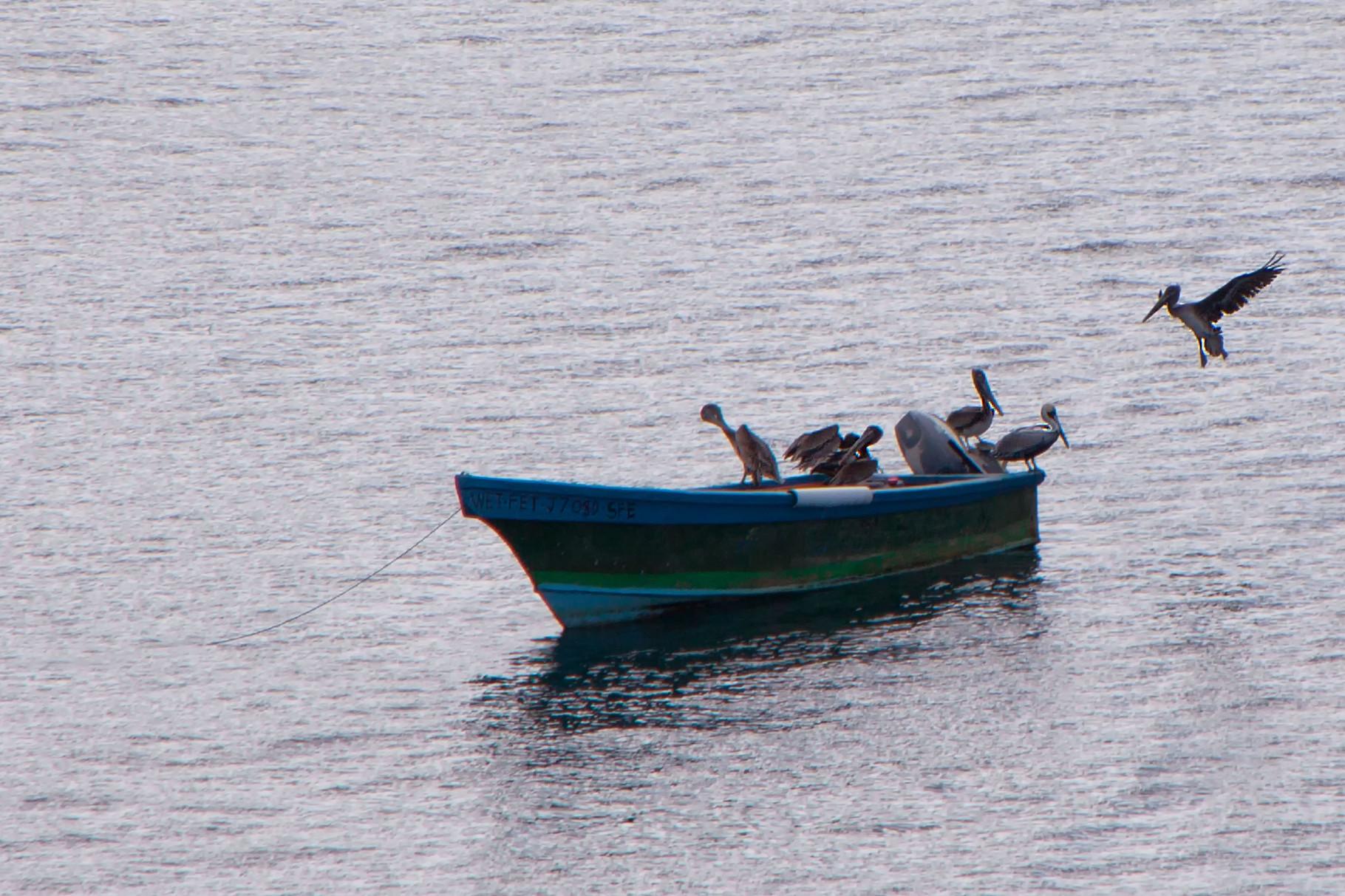 Pelikane Dominica