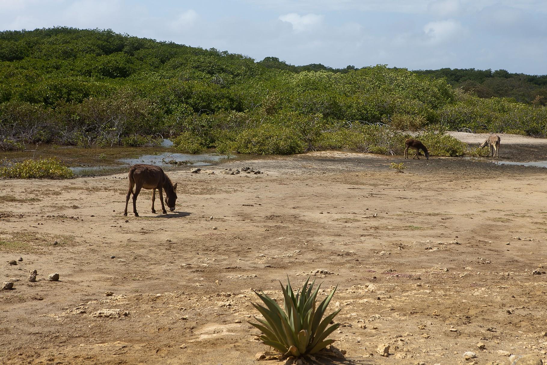 Esel auf Bonaire