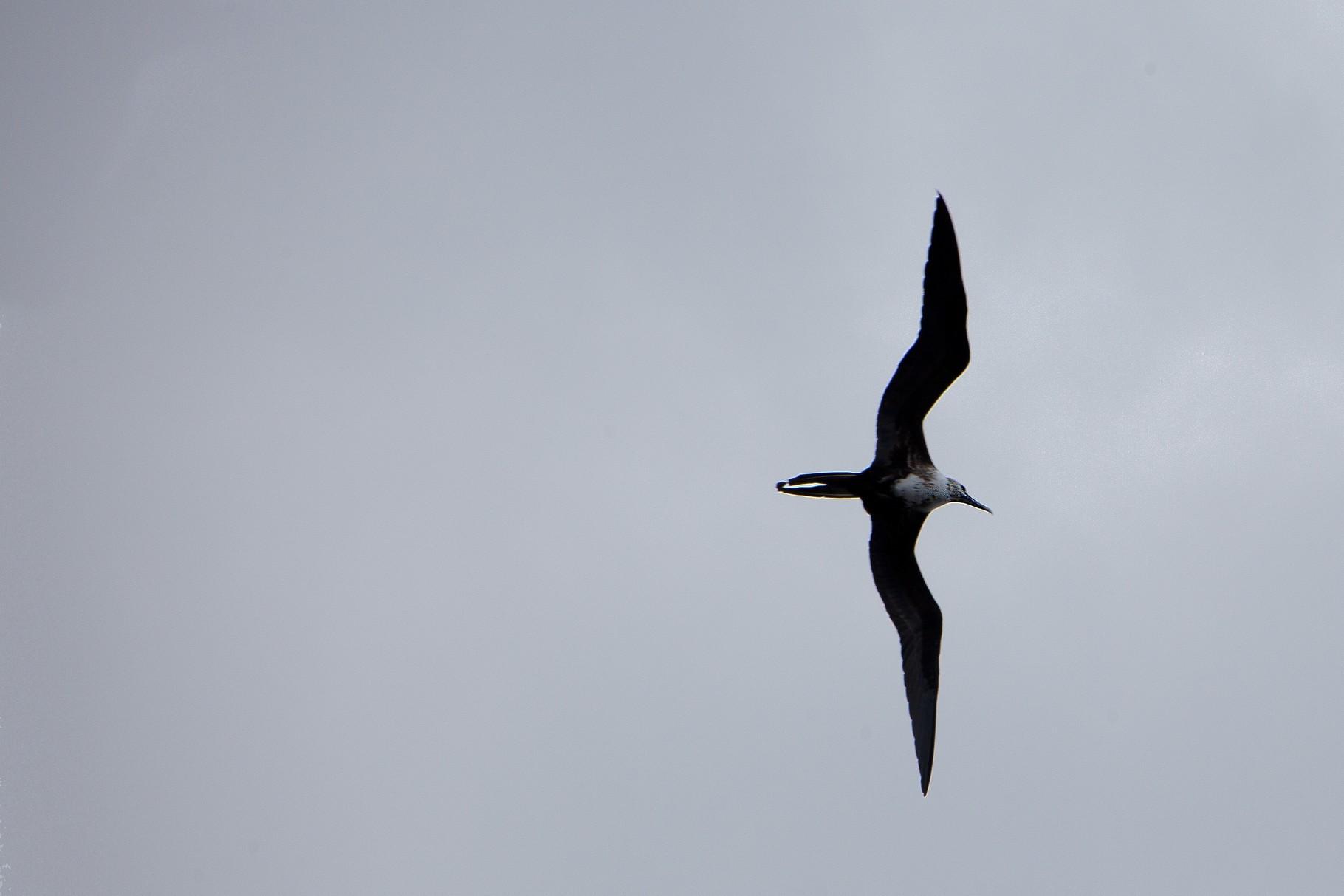 Fregattenvogel Aruba