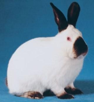 Породы кроликов - Сайт stroitelstvoremontzdorovua!