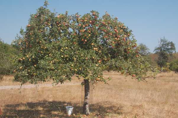Reife Äpfel am Baum, Bild: Nico Schreckenbach