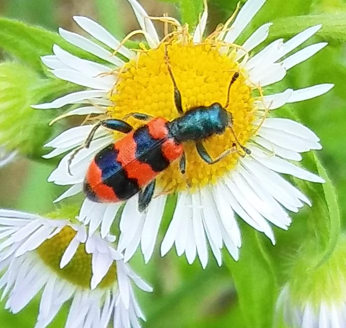 Bienenkäfer