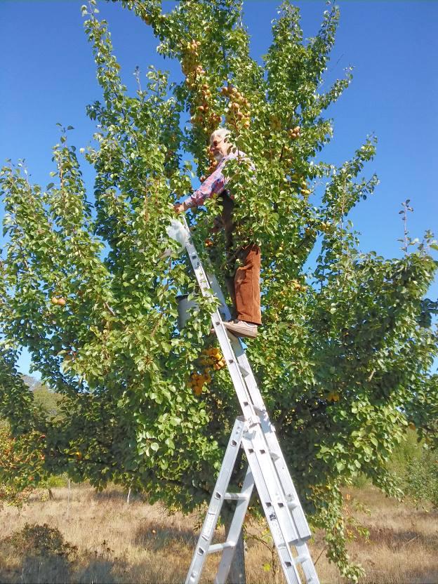Birnen mildern die Säure im gepreßten Saft und runden den Geschmack ab   Foto: M. Fluck