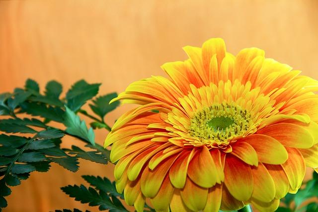 Gerbera (Blumensymbolik) Bestattungslexikon, lexikon-bestattungen, Bestattungsdienste, Bestattungsbedarf