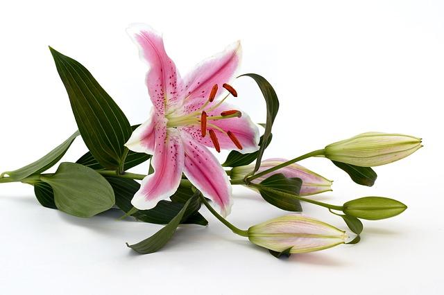 Lilie (Blumensymbolik) Bestattungslexikon, lexikon-bestattungen, Bestattungsdienste, Bestattungsbedarf Trauerfloristen