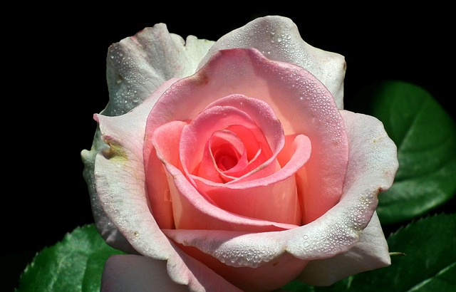 Rose (Blumensymbolik) Bestattungslexikon, lexikon-bestattungen, Bestattungsdienste, Bestattungsbedarf