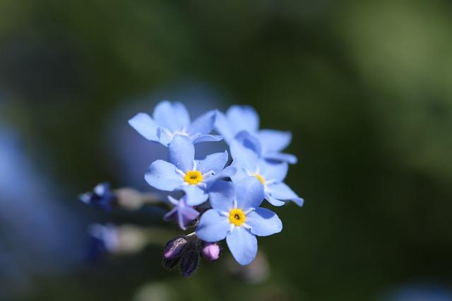 Vergissmeinnicht (Blumensymbolik) Bestattungslexikon, lexikon-bestattungen, Bestattungsdienste, Bestattungsbedarf