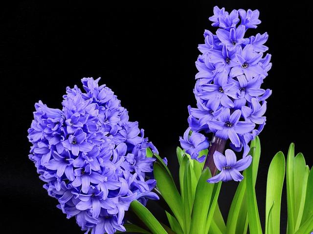 Hyazinthe (Blumensymbolik) Bestattungslexikon, lexikon-bestattungen, Bestattungsdienste, Bestattungsbedarf
