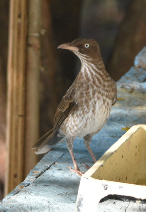 Pearly-eyed Thrasher