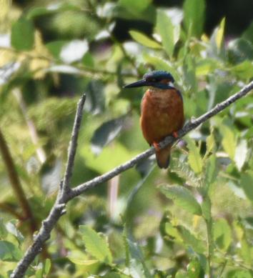 Kingfisher Slimbridge