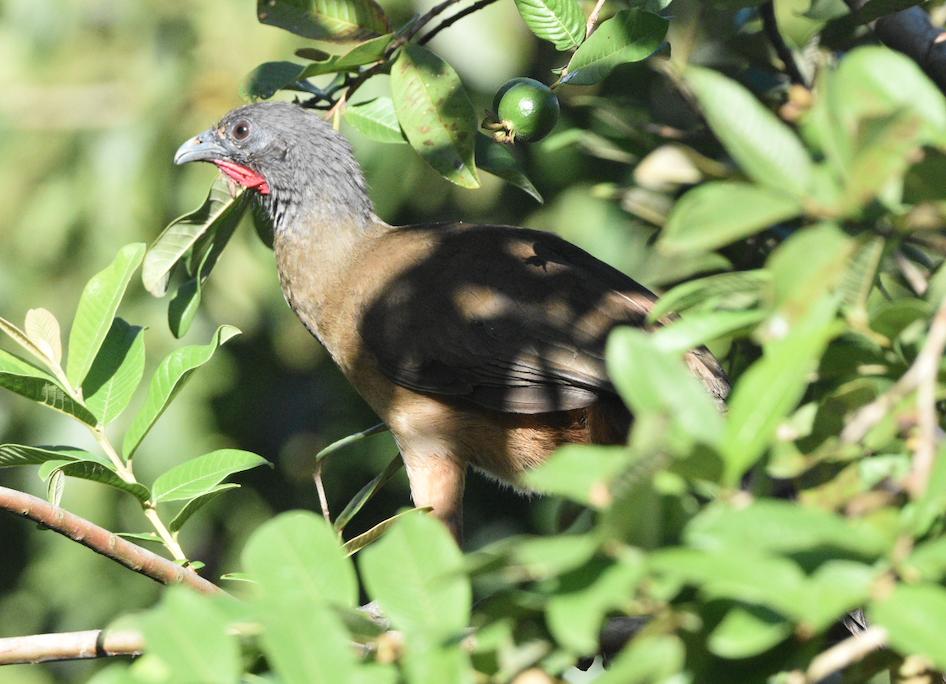 Rufous-vented Chachalaca