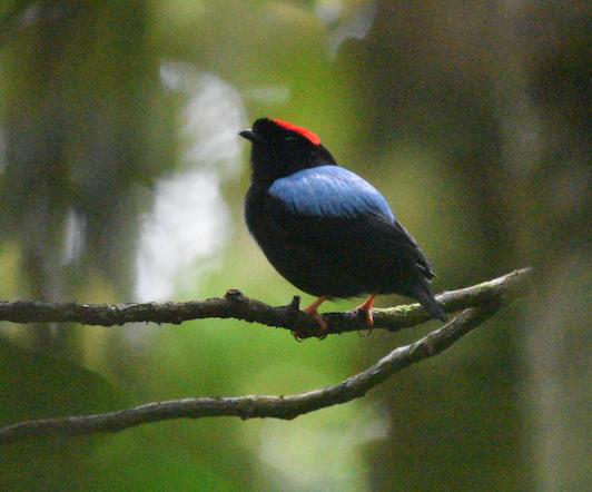Blue-backed Manakin