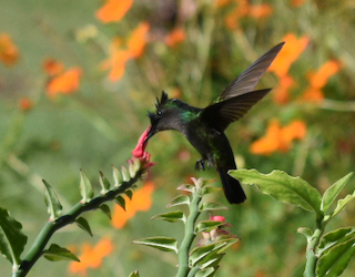 Antillean Created Hummingbird